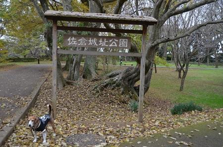 20161121佐倉城址公園37