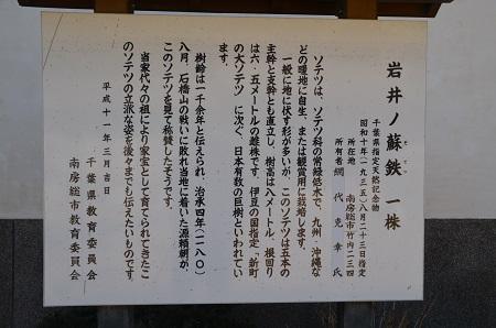 20170126岩井の大ソテツ05