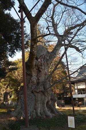 20170131地蔵ケヤキ04