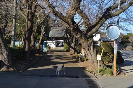 20170131地蔵ケヤキ01