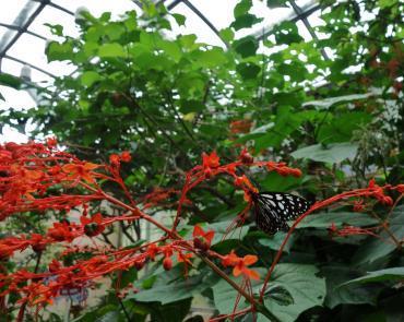 蝶ヨンピル