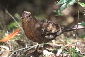 Eurasian blackbird2