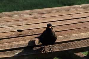 Eurasian blackbird1