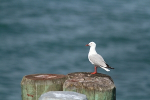 Red-billed gull1