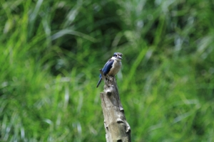 Secred kingfisher