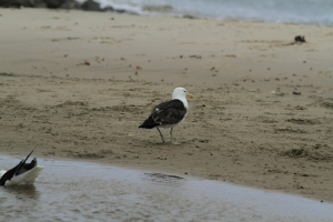 Southern black-backed gull2