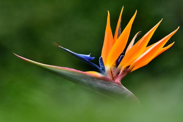 極楽鳥花(1)