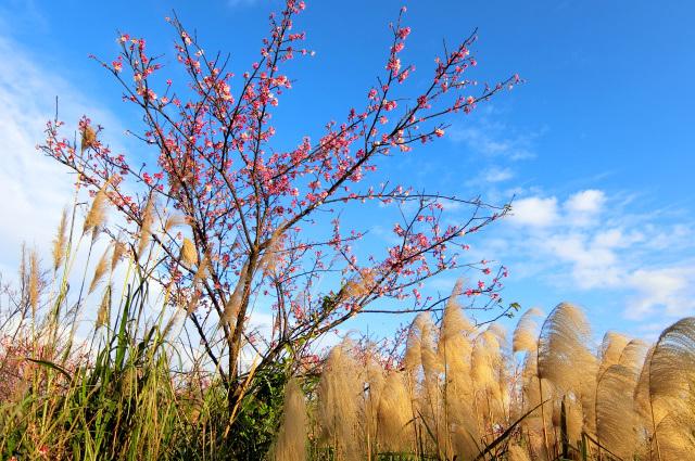 寒桜(5)