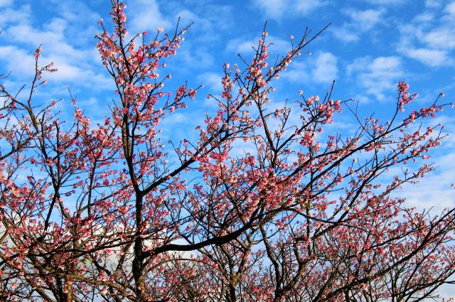 寒桜(4)
