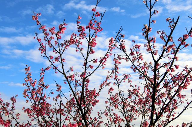寒桜(3)
