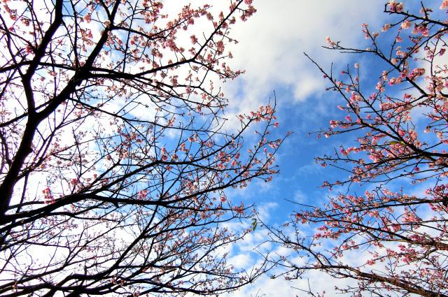 寒桜(2)