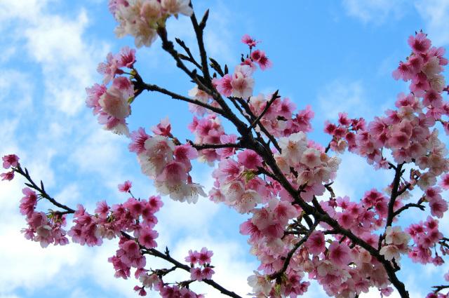 寒桜(1)