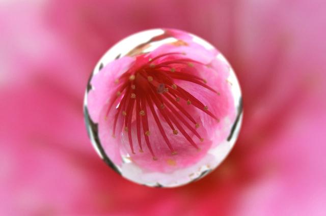 寒桜(7)