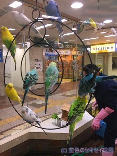 札幌地下街 小鳥の広場のインコ  空色のセキセイ珠霞