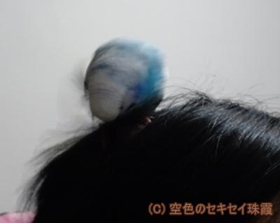 頭に飛んでくる 空色のセキセイ珠霞