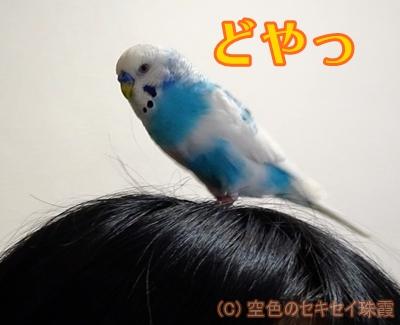 頭に飛んできてドヤ顔 空色のセキセイ珠霞
