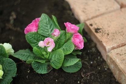 バラ咲きプリムラジュリアン(イチゴのミルフィーユ)