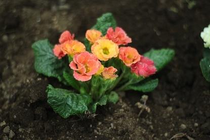 バラ咲きプリムラジュリアン(ピーチフロマージュ)