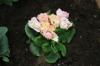 バラ咲きプリムラジュリアン(プリンアラモード)