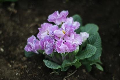 バラ咲きプリムラジュリアン(ブルーベリーのムース)