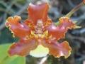Otoglossum Chiriquense[1]