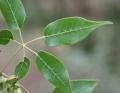 Ekmanianthe longiflora