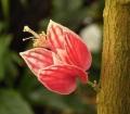 Goethea_strictiflora3_ies[1]