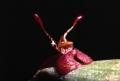 Myoxanthus_reymondii[1]