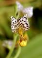 Ponthieva maculata1