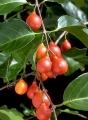 Salacia chinensis