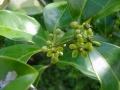 Salacia chinensis2