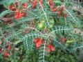 Sutherlandia-frutescens[1]
