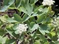 Peucedanum japonicum