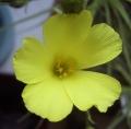 DrosophyllumLusitanicum.jpg