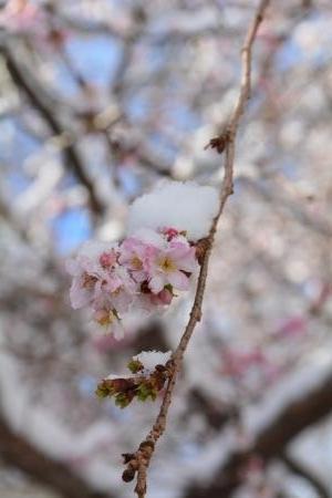 2017雪の寒桜