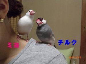 おねぇちゃんの肩でくつろぐ~ミヨちゃんとチルク
