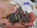 HN53~55ハーリ&ニナ最後のヒナたち