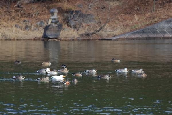ハシビロガモ_千鹿頭池