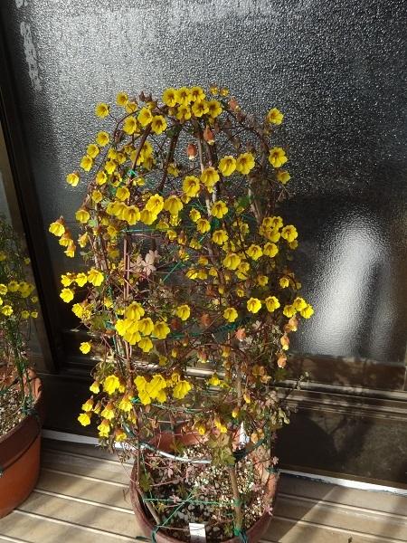 20170208 005T.lepidum黄花