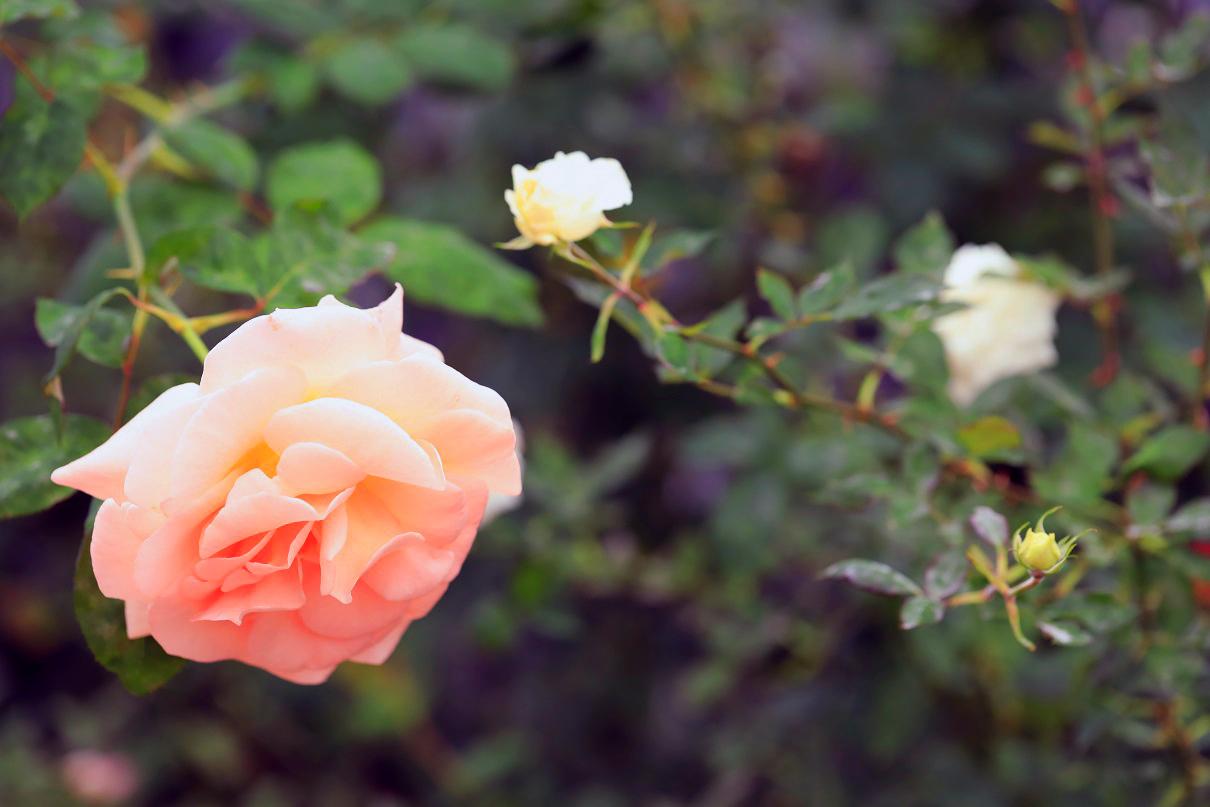 薔薇園10
