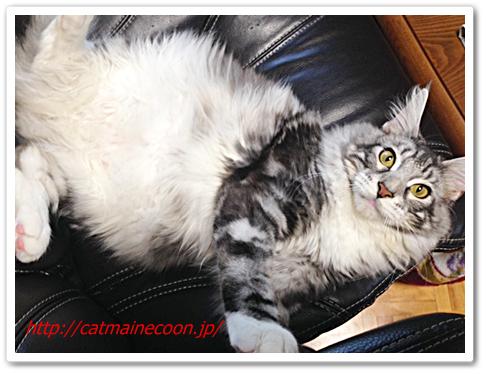 メインクーンの猫シルル今日で9か月