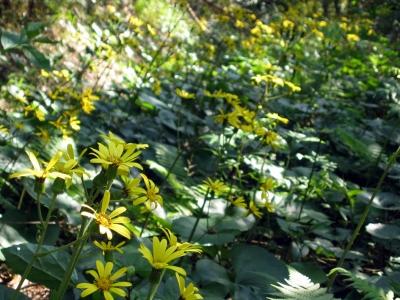 031207-1=用水道のツワブキの花