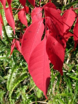 170202-2=ハゼノキの紅葉 aONA温泉道
