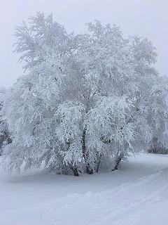 樹氷アズキナシ