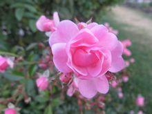 IMG_4793薔薇