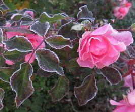 IMG_4960凍った薔薇