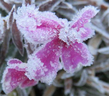 IMG_5847凍った花2