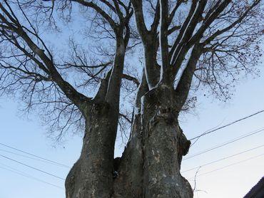 IMG_5911センターの樹