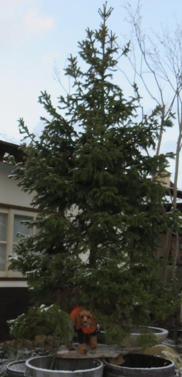 IMG_6184モミの木