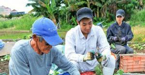 きょう冬至 宜野湾は田芋の収穫最盛期 2016